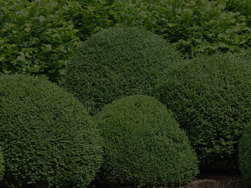 Scotch Plains Shrubs and Hedges